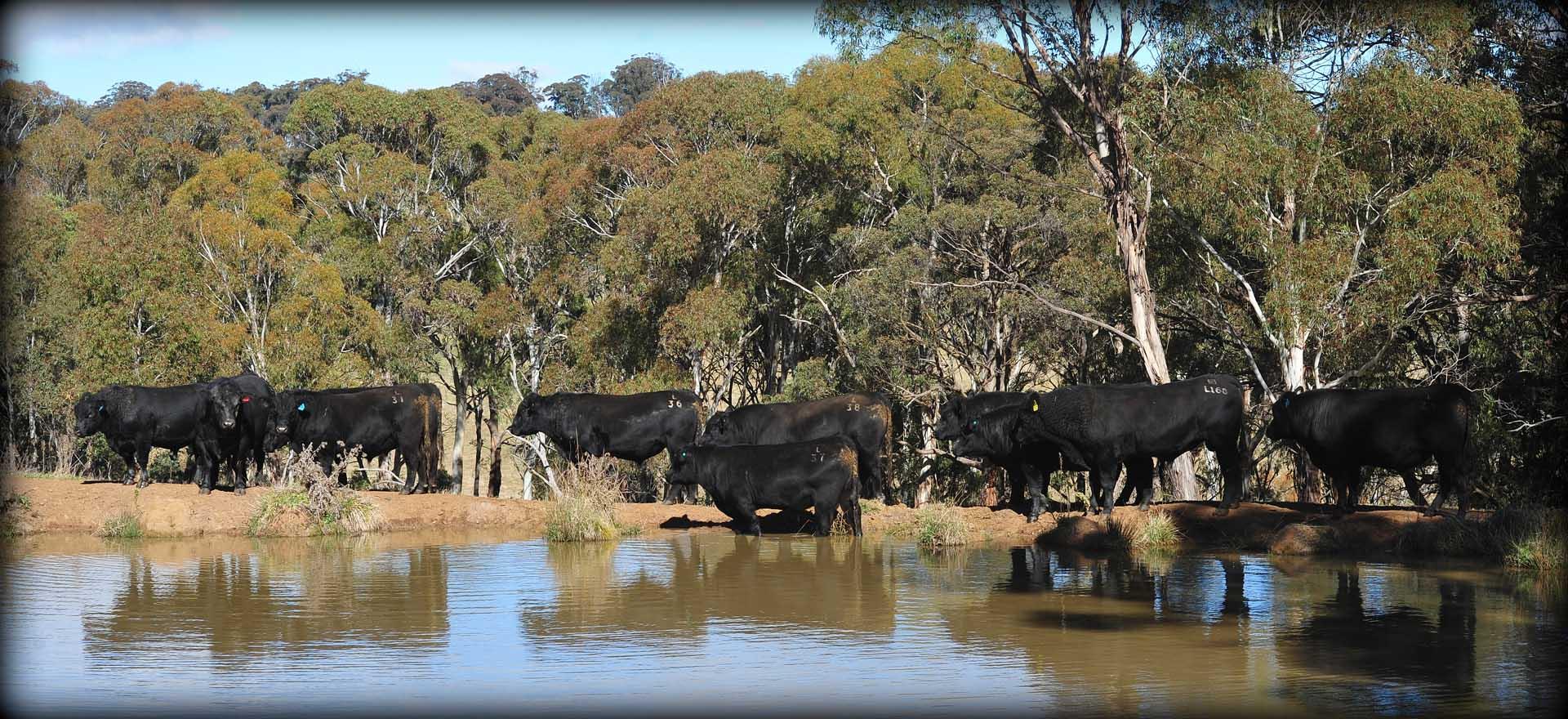 bridgewater_angus_cattle8